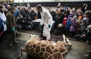 marius giraffa zoo Copenhagen abbattuta