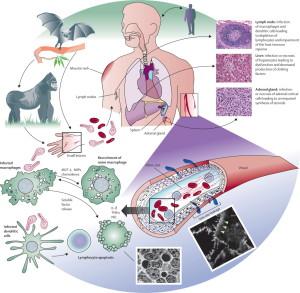 Ebola-virus-pathogenesis[1]
