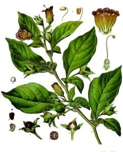 Atropa_belladonna_-_Köhler–s_Medizinal-Pflanzen-018