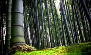 foresta-di-bambù-1